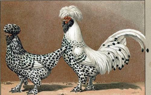 Гамбургская порода кур: описание, фото