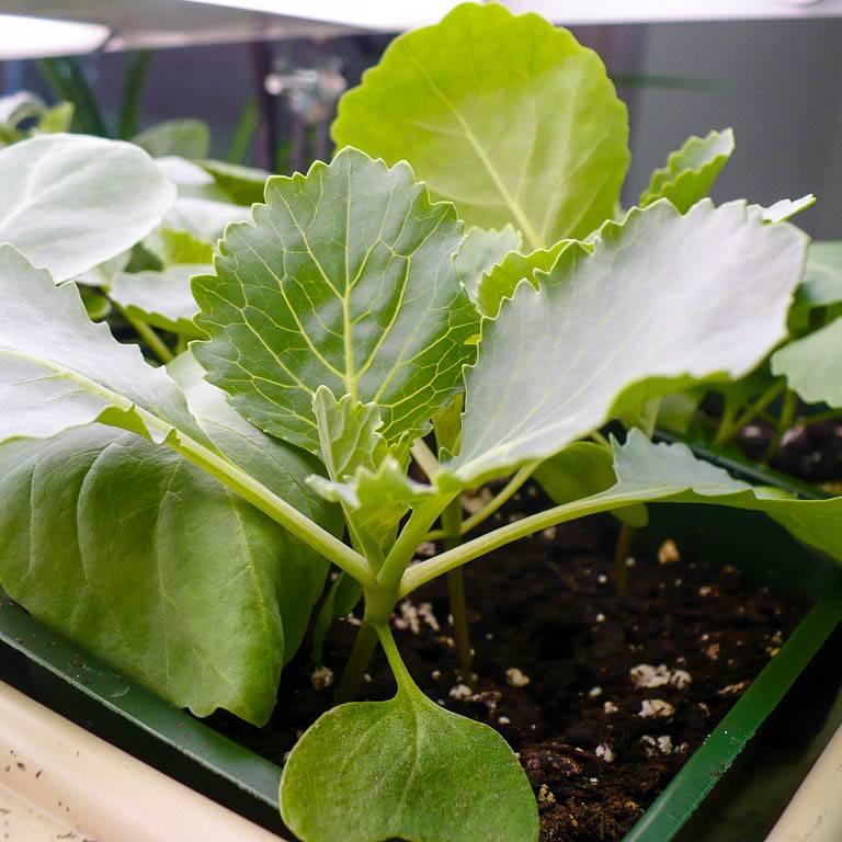 Выращивание рассады брокколи от посева семян до высадки