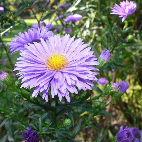 Цветы сентябринки посадка и уход как посадить сентябринки весной и осенью фото сортов - мы дачники