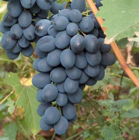 Виноград «августин»: описание сорта, фото и отзывы