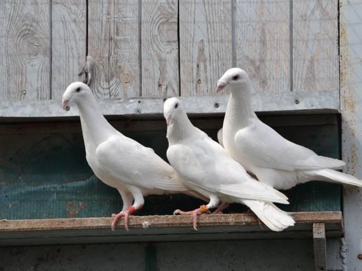 Как работает голубиная почта: история, основы, принципы и методы работы, правила обучения голубей, их использование, интересные данные и факты