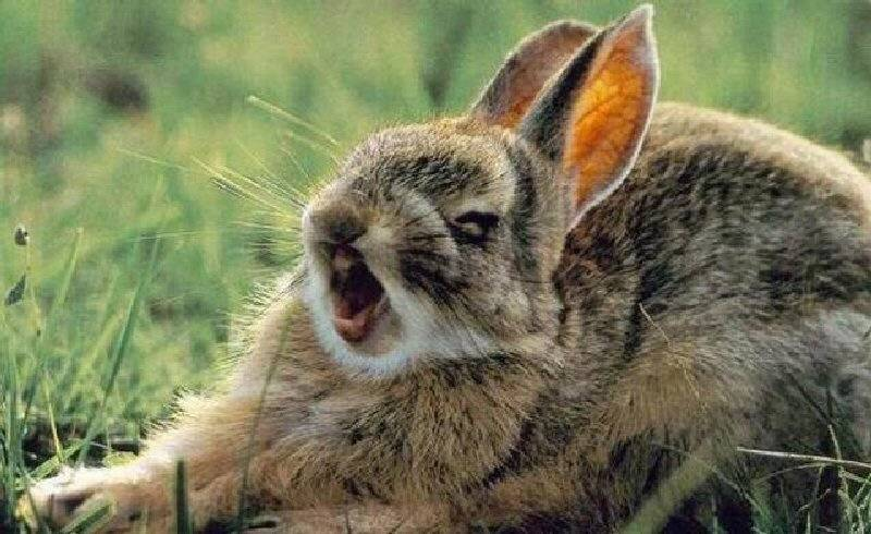 Как лечить насморк у кроликов?