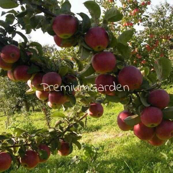 Особенности сорта яблони подарок графскому