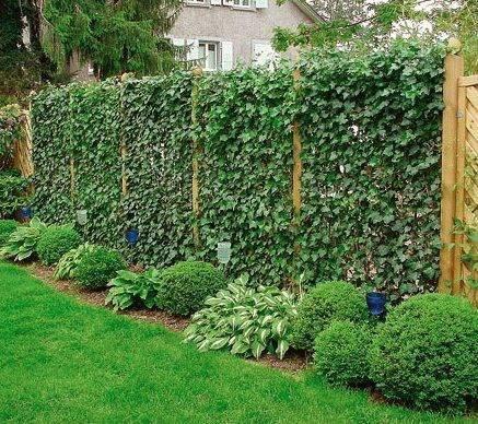 Озеленение дачи: как посадить вдоль забора деревья и кустарники