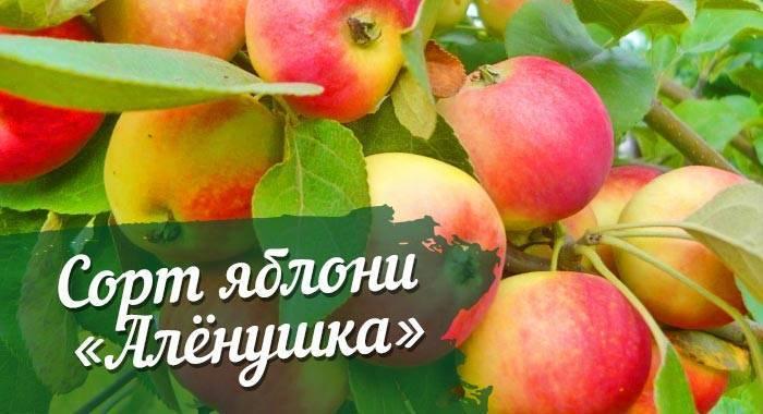Характеристика яблони свежесть