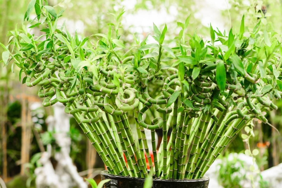 Драцена сандера: правила ухода в домашних условиях, выращивание и размножение сандериана