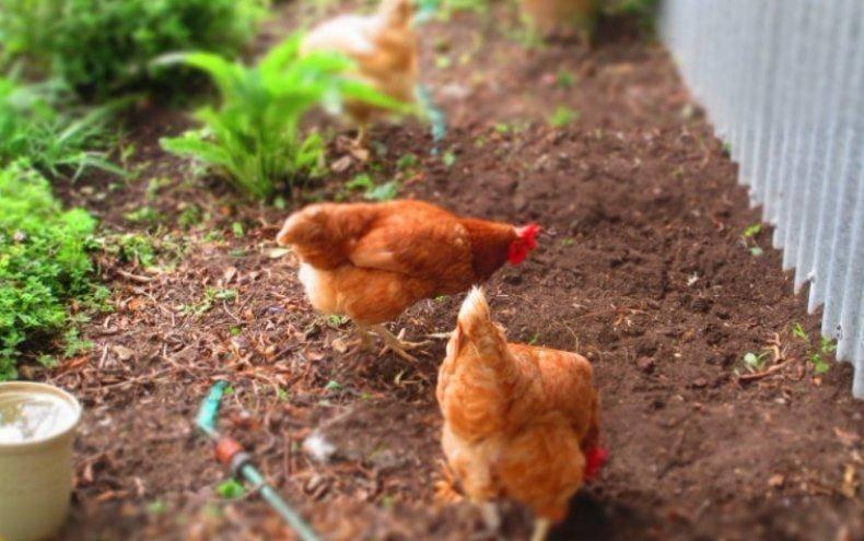 Куры-рекордсмены по производству яиц – браун ник