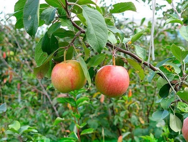 Основные особенности сорта и гибридов, агротехника выращивания сорта яблок сахарный аркад