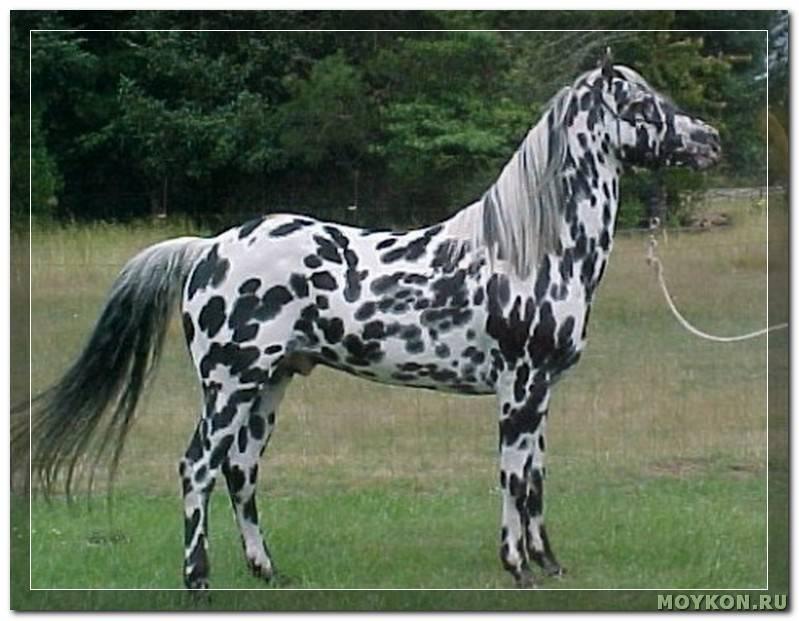Обзор чалой масти лошадей: ее описание и фото обзор чалой масти лошадей: ее описание и фото