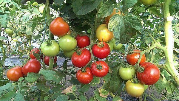 Характеристика и описание сорта томата настенька, его урожайность