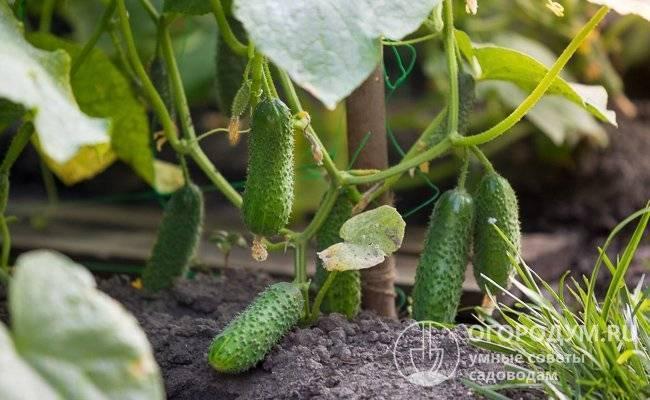 Огурец теща f1: отзывы, фото, описание сорта и его характеристика, выращивание гибрида