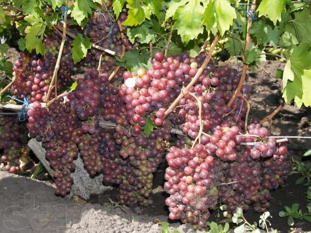 Описание сорта винограда руслан