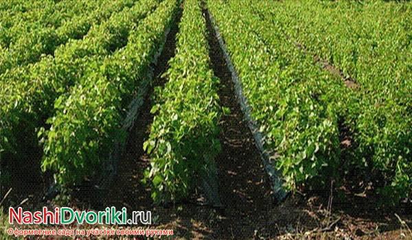Посадка и выращивание фундука из ореха в домашних условиях