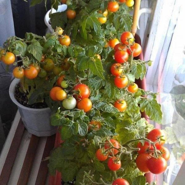 Комнатные помидоры: лучшие сорта для выращивания на подоконнике