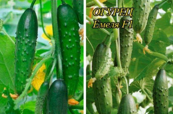 Огурец емеля: описание и характеристика сорта, выращивание с фото