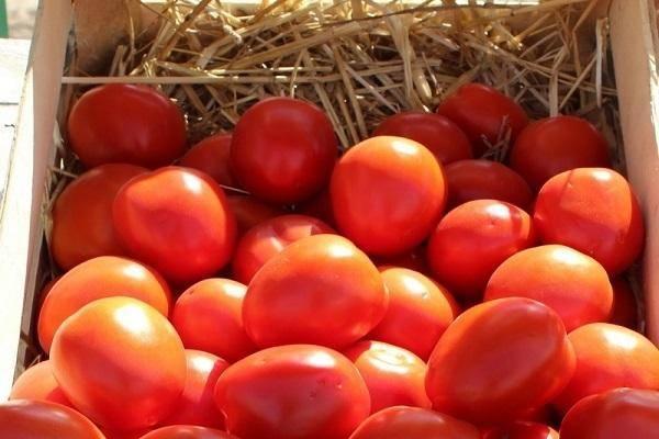 Томат эйджен f1: описание, выращивание, уход, фото