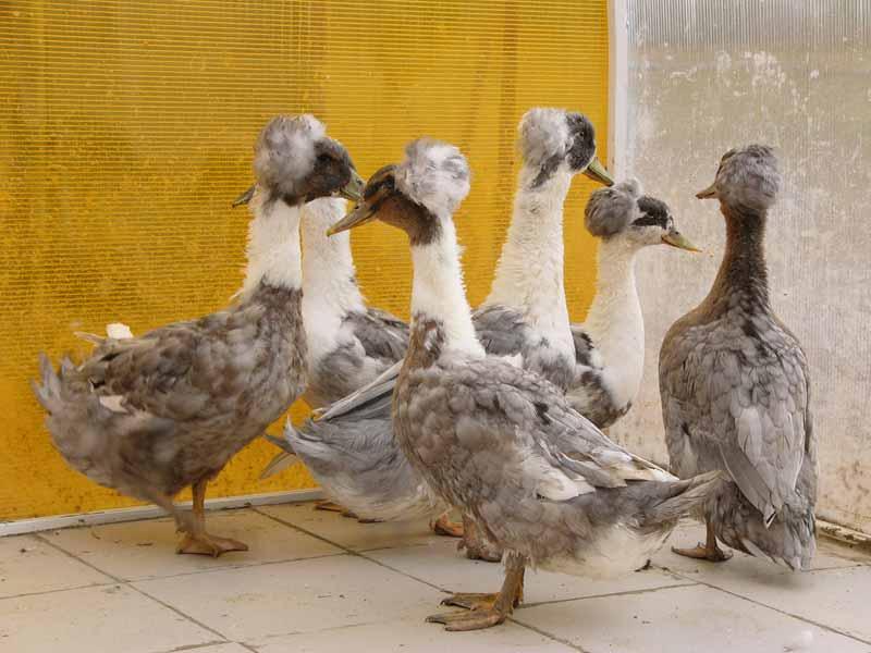 Хохлатая утка: история, описание и разновидности пород