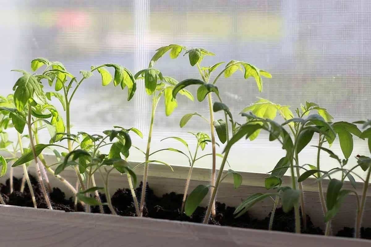 Когда и как сеять помидоры в сибири