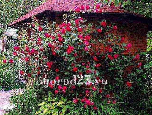 Осенняя обрезка плетистой розы — повышаем декоративность кустарника