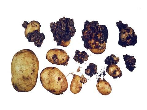 Определение и лечение рака картофеля