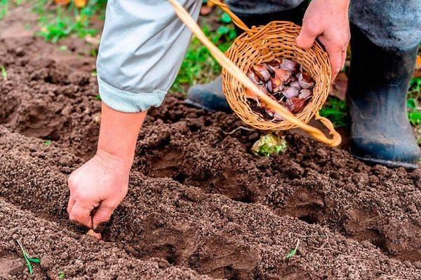 Когда сажать зимний чеснок в сибири осенью по лунному календарю?