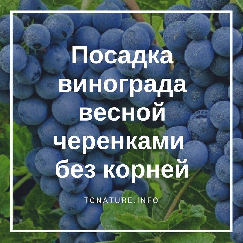 Выращивание винограда из черенков: поэтапная фото и видео инструкция выращивания в домашних условиях зимой и весной