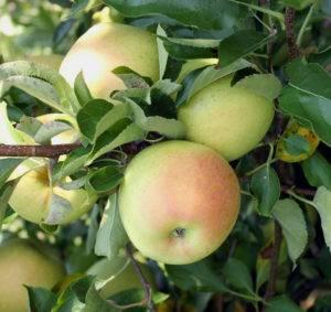 Низкорослая яблоня приземлённое: описание, фото, отзывы