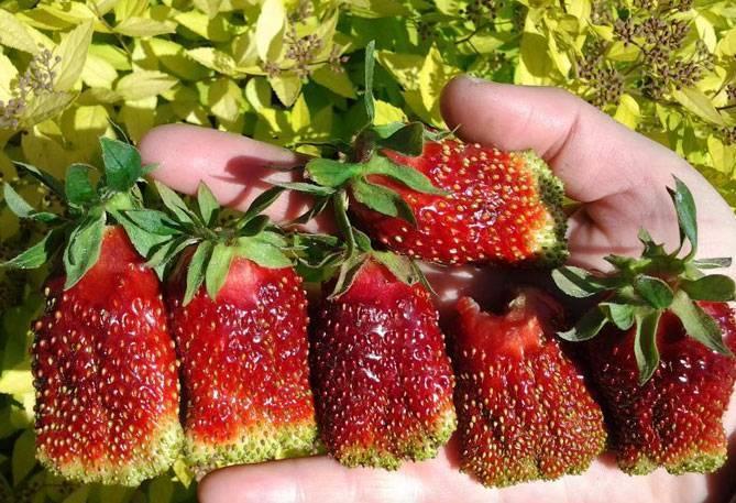 Клубника купчиха - описание сорта, фото, отзывы садоводов