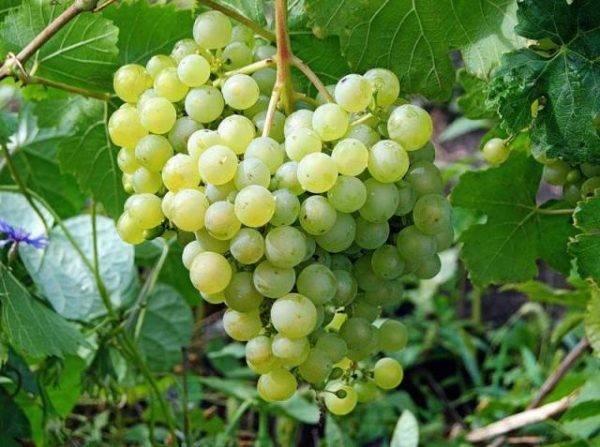 Виноград черный жемчуг: описание сорта