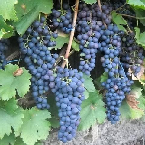 Виноград северный плечистик: описание сорта, фото, отзывы