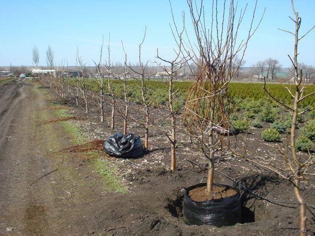 Как посадить грушу весной: пошаговое руководство, видео и фото