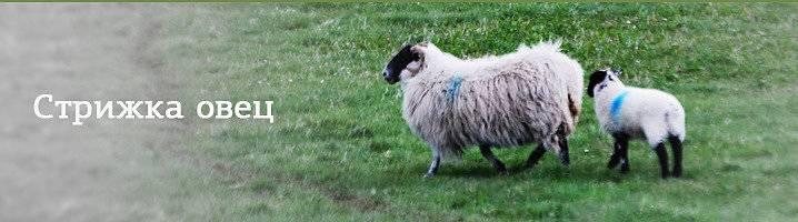 Как выбрать машинку для стрижки овец? топ 5 популярных моделей, обзоры бытовой техники на