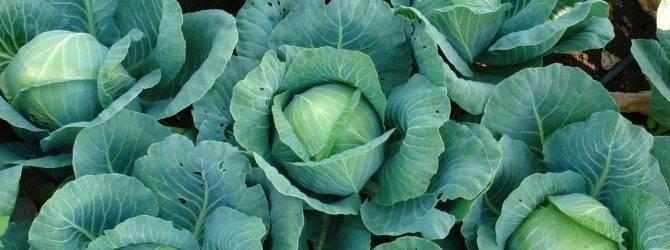 Капуста ринда f1: описание сорта, отзывы тех кто сажал, фото, урожайность