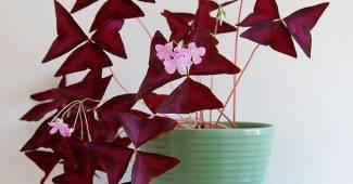 Луковичные многолетние садовые и комнатные цветы фото, названия