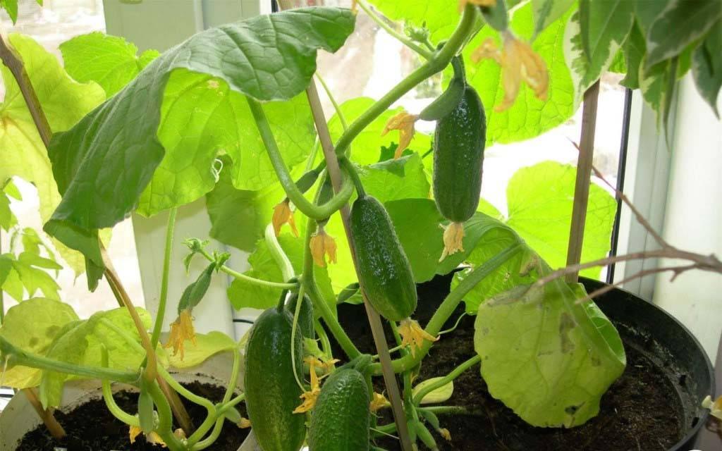 Огурцы на подоконнике большой урожай в домашних условиях