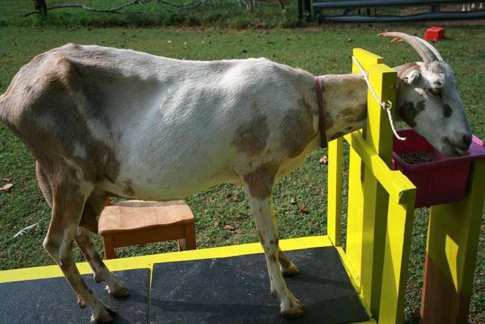 Станок для доения козы: изготовление своими руками, чертежи, требования