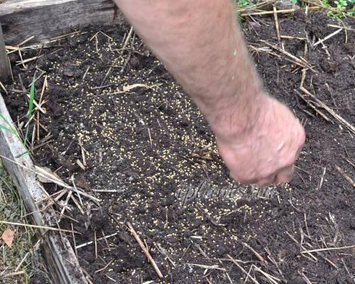 Когда посеять горчицу от сорняков: весной или осенью