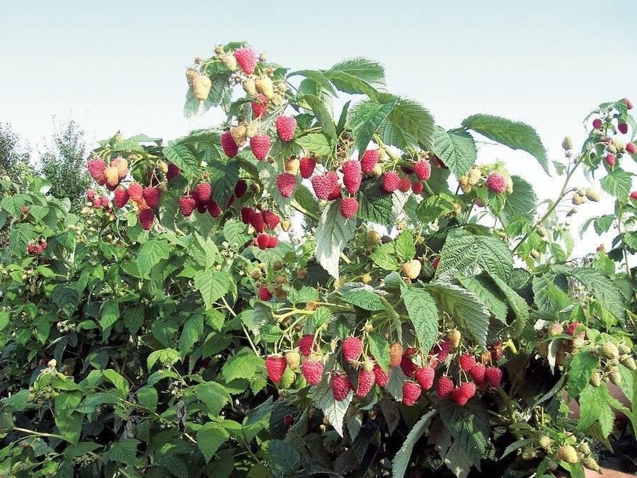 Чем подкормить малину для хорошего урожая