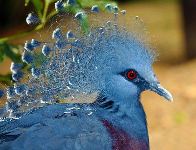 Венценосный голубь: обзор породы, факты