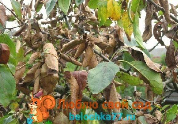 Чернеют листья на яблоне - что делать и чем лечить?