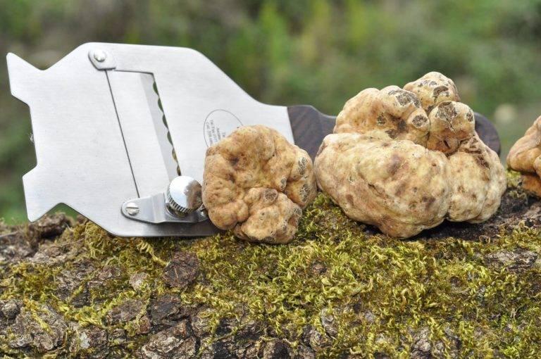 Королевский гриб возможно вырастить в собственном саду