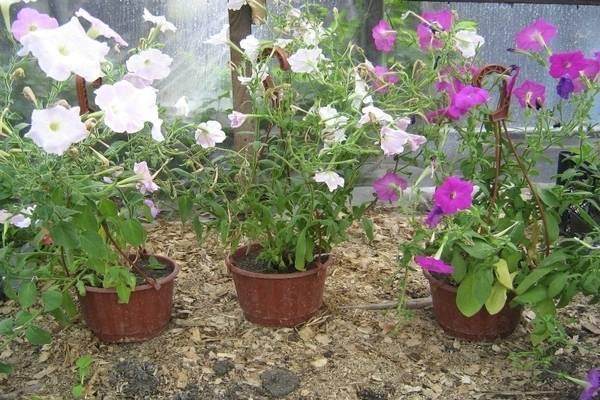 Если ваша петуния засыхает — что делать, чтобы реанимировать растение?