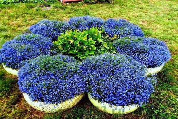 Лобелия - 73 фото субтропического выносливого и нежного растения