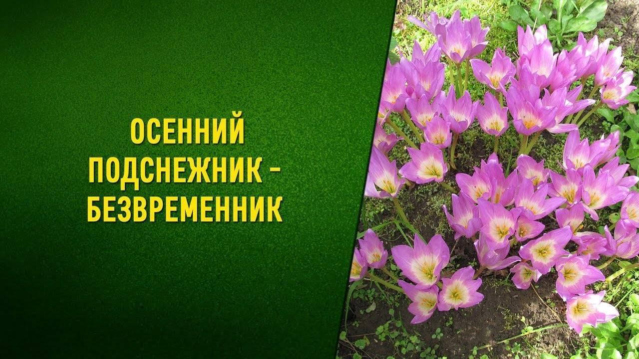 Безвременник — описание и фото цветка, посадка и уход + лечебные свойства