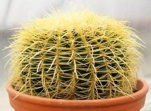 Эхинокактус - виды, подбор почвы, секреты выращивания и 115 фото цветения кактуса