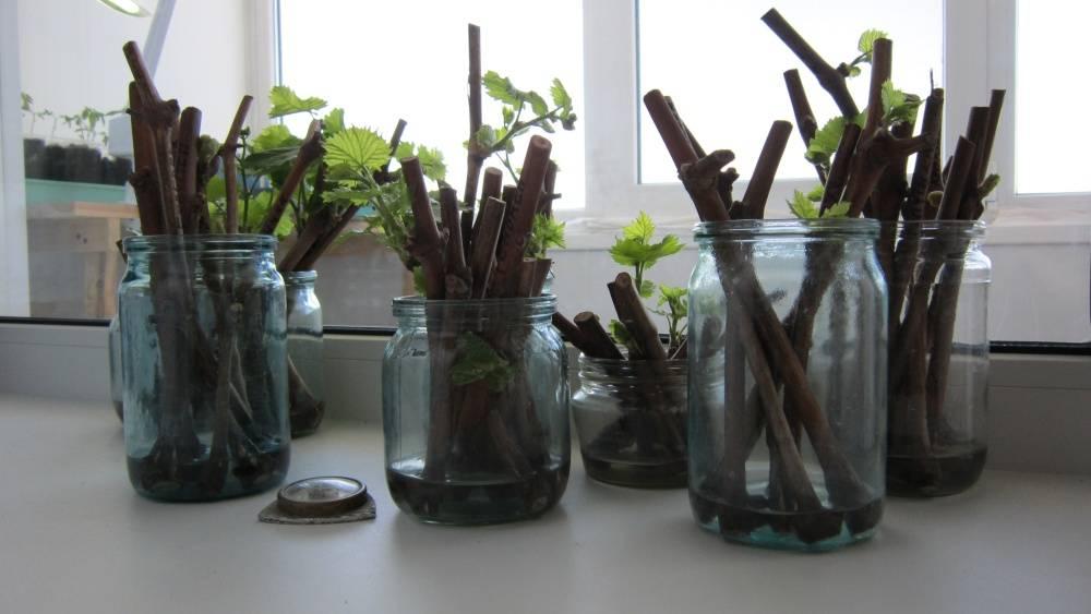 Как прорастить черенки винограда в домашних условиях