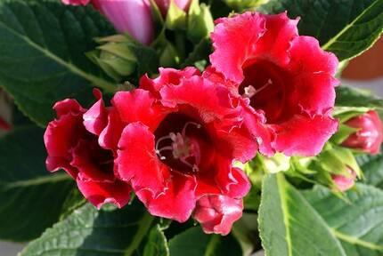 Размножение глоксинии: листом, черенками и цветоносом в домашних условиях