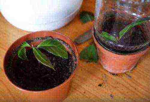 Правила выращивания лаврового листа в домашних условиях