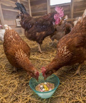 Кокцидиоз - симптомы и лечение у кур, кокцидиостатики для цыплят-бройлеров и птиц