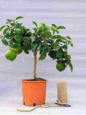 Как вырастить грейпфрут в комнатных условиях?